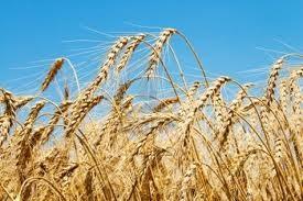 Integrirana pridelava žita